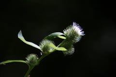 Thisle flower in closeup Stock Photo