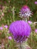 Thisles de la púrpura de Apennine Fotografía de archivo libre de regalías