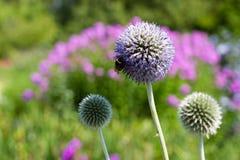 Thistel violeta Fotos de archivo libres de regalías
