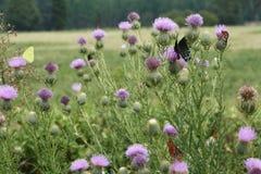 thistle бабочек быка Стоковая Фотография