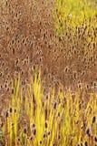 thistle быка Стоковые Изображения RF