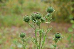 Thistle лекарственные растения Символ Шотландии Стоковые Изображения