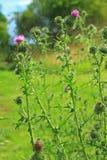 Thistle копья или общее vulgare Cirsium thistle Стоковое Изображение RF