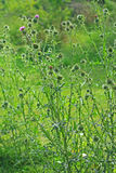 Thistle копья или общее vulgare Cirsium thistle Стоковые Фото