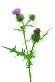 Thistle копья или общее vulgare Cirsium thistle Стоковое Фото