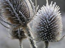 thistle льда Стоковое фото RF