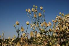 thistle молока травы Стоковая Фотография RF