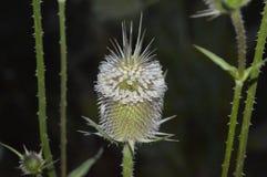 Thistle на цветке естественно Стоковое Изображение