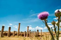 Thistle около Temple of Artemis в старом римском городе Gerasa стоковые фото