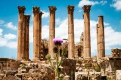 Thistle около Temple of Artemis в старом римском городе Gerasa, Jerash стоковые фото