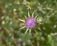 thistle пурпура цветка Стоковое Фото