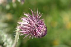 thistle пурпура цветка Стоковые Фото