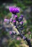 Thistle пурпура цветорасположения детали Стоковое Изображение RF