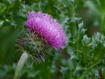 Thistle - пушистый цветок Стоковые Изображения