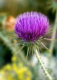 Thistle растя в горах Турции Стоковое Изображение RF