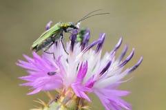 thistle цветка жука Стоковое Изображение RF