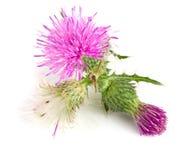 Thistle цветка изолированный на белом макросе предпосылки Стоковые Изображения RF