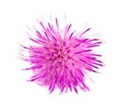 Thistle цветка изолированный на белом макросе предпосылки Стоковая Фотография