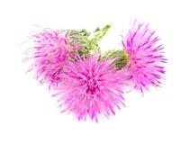 Thistle цветка изолированный на белом макросе предпосылки Стоковые Фотографии RF