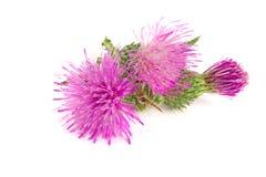 Thistle цветка изолированный на белом макросе предпосылки Стоковые Изображения