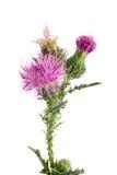 Thistle цветка изолированный на белом макросе предпосылки Стоковые Фото