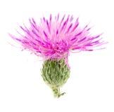 Thistle цветка изолированный на белом макросе предпосылки Стоковое Изображение
