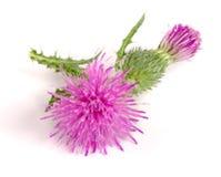 Thistle цветка на белом макросе предпосылки Стоковая Фотография