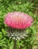thistle цветка розовый Стоковое Изображение RF