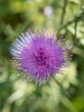 thistle цветка розовый Стоковые Фотографии RF