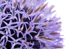 thistle цветка Стоковые Изображения RF