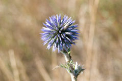 thistle цветка Стоковая Фотография RF