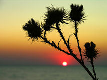 thistle цветка Стоковые Фотографии RF