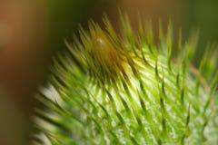 thistle цветка Стоковая Фотография
