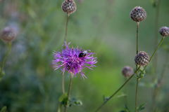 Thistle, чертополох, цветок Thistle на восходе солнца в золотых тонах, селективном фокусе Thistle символ Шотландии конец Стоковые Фотографии RF