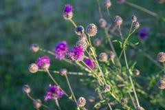 Thistle, чертополох, цветок Thistle на восходе солнца в золотых тонах, селективном фокусе Thistle символ Шотландии конец Стоковые Изображения
