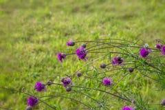 Thistle, чертополох, цветок Thistle на восходе солнца в золотых тонах, селективном фокусе Thistle символ Шотландии конец Стоковая Фотография RF