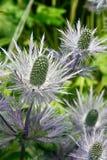 thistle Royaltyfria Foton