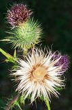 Thistle. Closeup of a thistle isolated by a dark background royalty free stock images