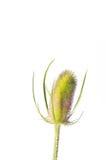 Thistle. Dipsacus fullonum isolated on white background Royalty Free Stock Photo