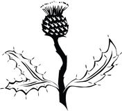Thistle. Black and white illustration of a thistle plant Royalty Free Stock Photos