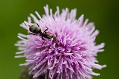 thistle муравея стоковые изображения rf