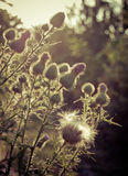 Thistle. Flowering thistle against sun rays Royalty Free Stock Photo