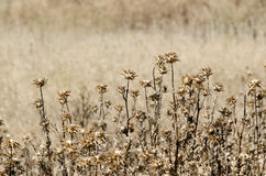 Thistle. Dried thistles on a blurred background. Space for text Stock Images