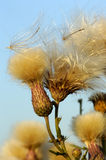 Thistle. Dry Seeds of a thistle flying away from the wind royalty free stock photos