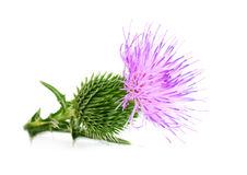 Free Thistle Royalty Free Stock Photography - 28080857