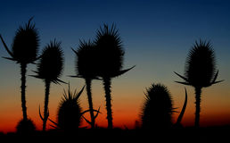 Thistle. Silhouette of thistle or bur Stock Photo