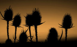 Thistle. Silhouette of thistle or bur Royalty Free Stock Image