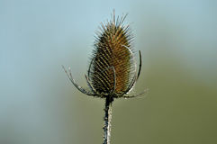 Thistle. Macro view of prickly thistle plant outdoors Royalty Free Stock Photo