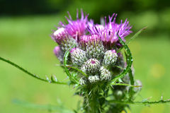 Thistle. Stock Image