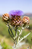 Thistle Fotografia de Stock Royalty Free
